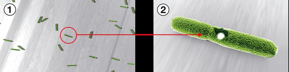 Sulla superficie è presente un'elevata quantità di germi (1): gli ioni d'argento ne distruggono la membrana cellulare (2) - Serramenti Torino